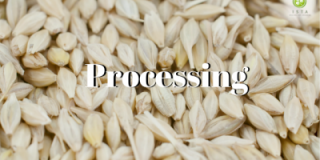 The road to certified seed - Processing